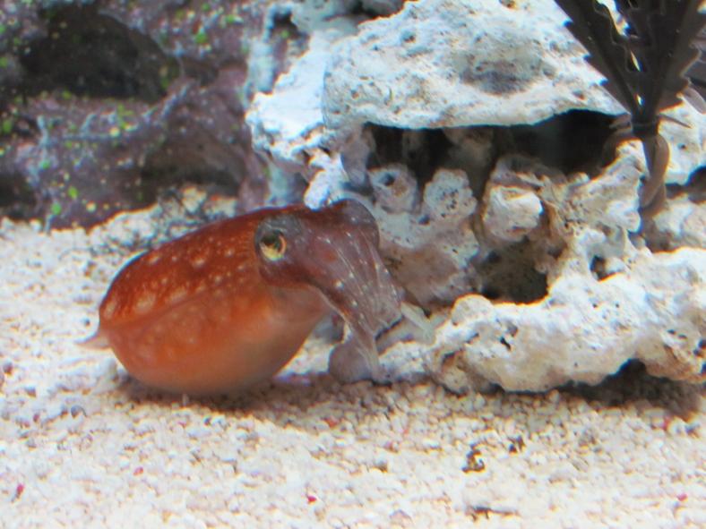 27 - kobi cuttlefish